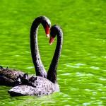 Swans-heart-in-love